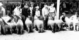 4-H Boys Exhibit Their Lambs